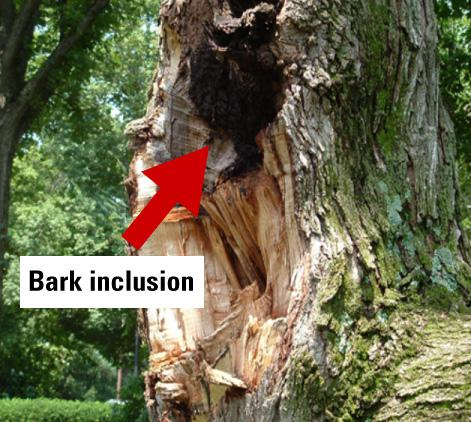 Arrow shows where bark grew, making the tree vulnerable to damag