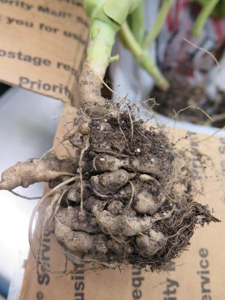 Photo of swollen brassica roots caused by clubroot disease