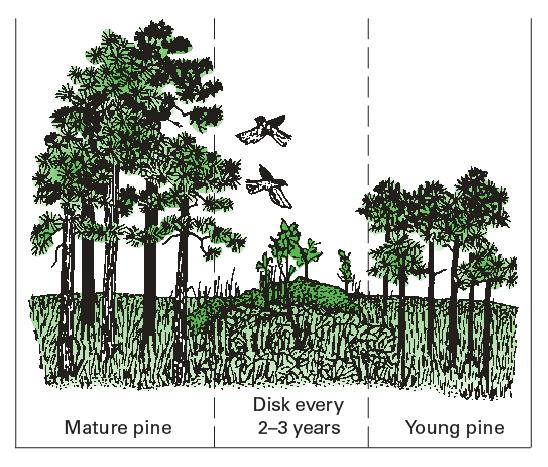 Illustration of a forest with mature pine and edges