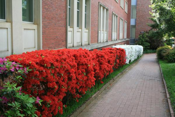 A hedge of brightly blooming azaleas grows along a brick walkway