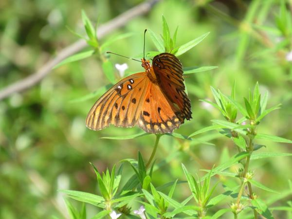 Photo of fritillary butterfly