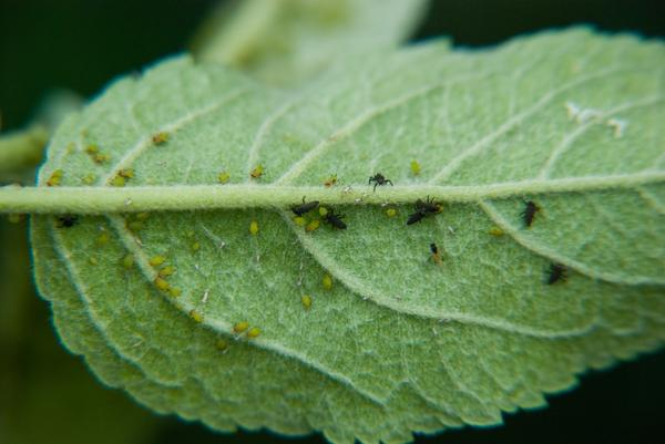 Lady beetle larvae feeding on aphids