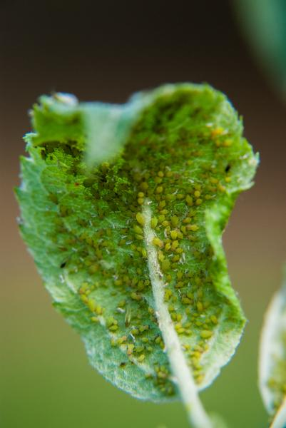 Aphid-infested apple leaf