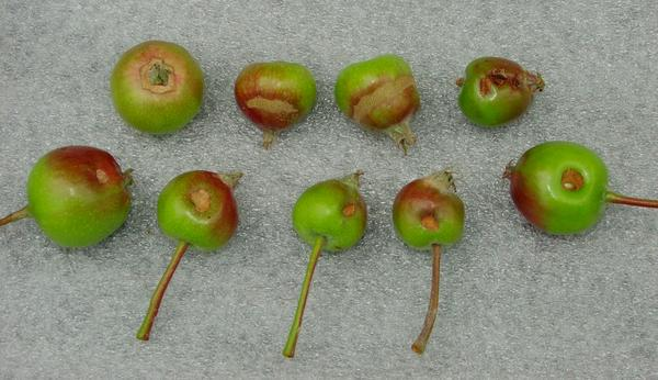 GFW feeding damage on young apples