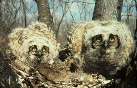 Photo of great-horned owls in nest
