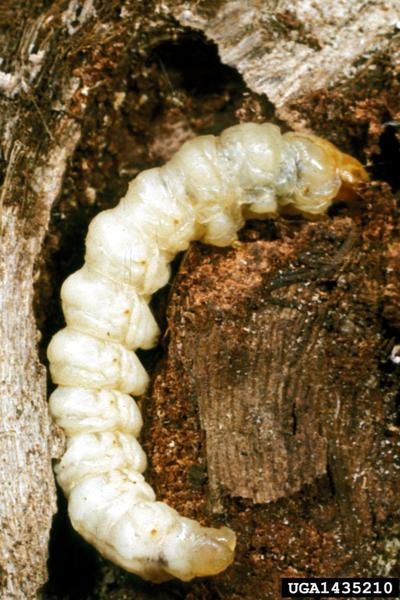 Grape root borer larva
