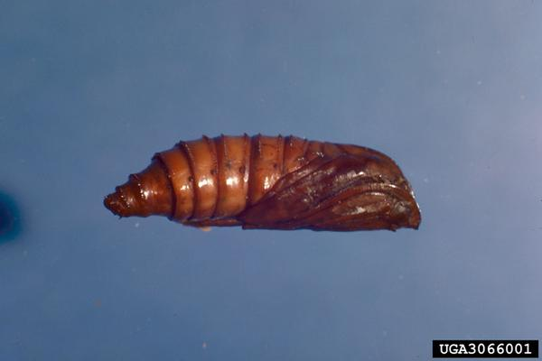 Grape root borer pupa