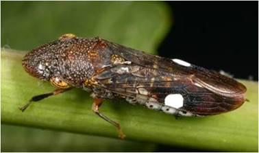 Photo of the glassy-winged sharpshooter