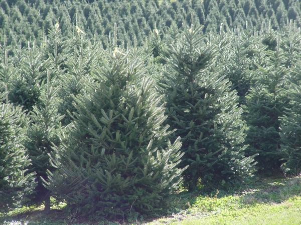 Field of large, glossy, dark green, Fraser fir Christmas trees