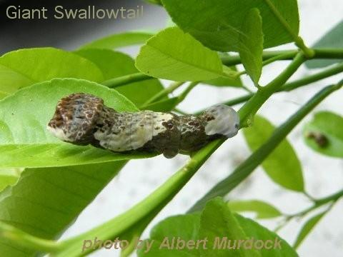 Thumbnail image for Caterpillars That Feed on Trees and Shrubs