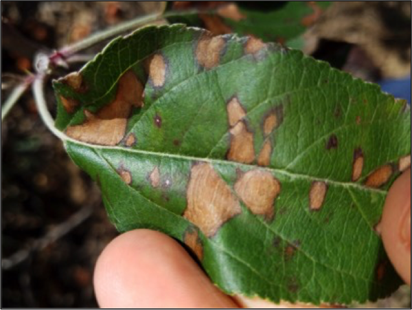 Glomerella leaf spot symptoms 1