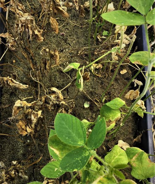 Thumbnail image for Glyphosate Injury on Soybeans