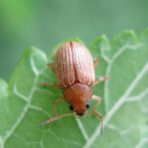 Photo of grape colaspis beetle