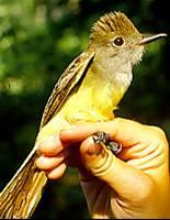 Photo of crested flycatcher