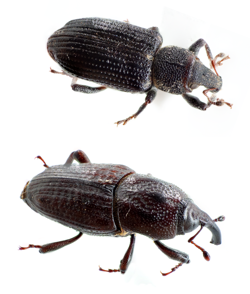 Figure 4. Antennae of the Annual bluegrass weevil (top), and Hun