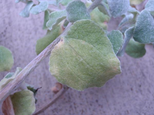 Closer view of yellowing lower leaf.