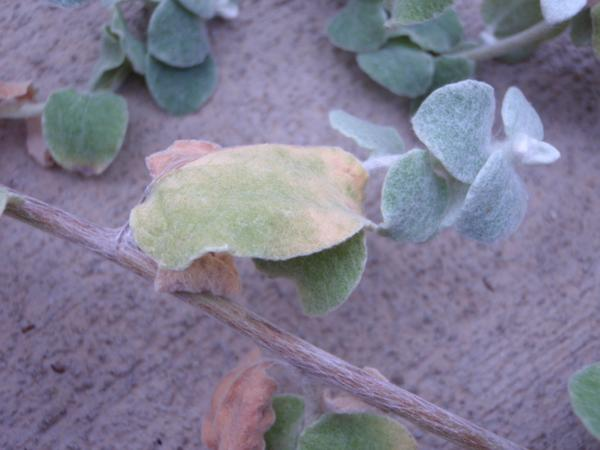 Yellowing of lower leaves due to a nitrogen deficiency.