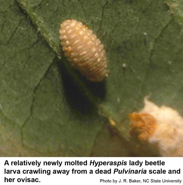 Newly molted Hyperaspis lady beetle larva
