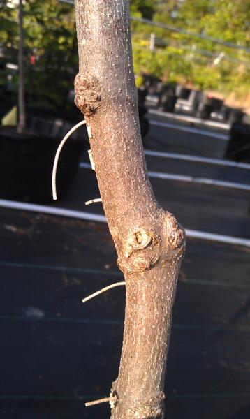 Frass strands emerging from a dogwood trunk caused by ambrosia b