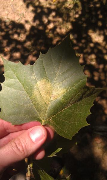 Stippling damage on sycamore from sycamore lace bug