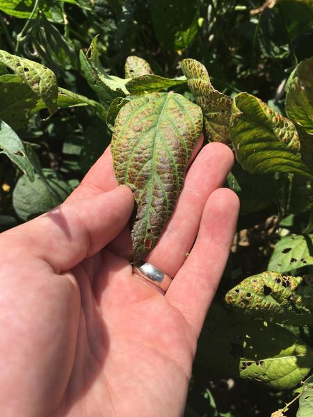 Thumbnail image for Cercospora Leaf Blight of Soybean