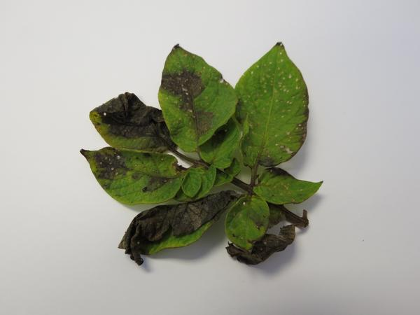Late blight on leaves