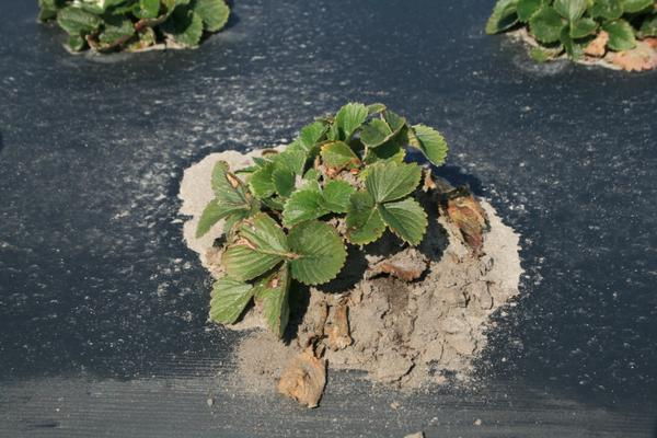 Strawberry plant surrounded by red imported fire ant mound.