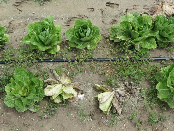 Lettuce drop symptoms