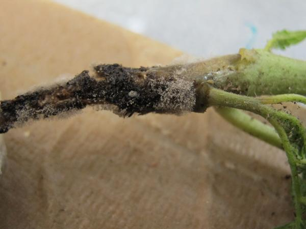 Botrytis on tomato stem