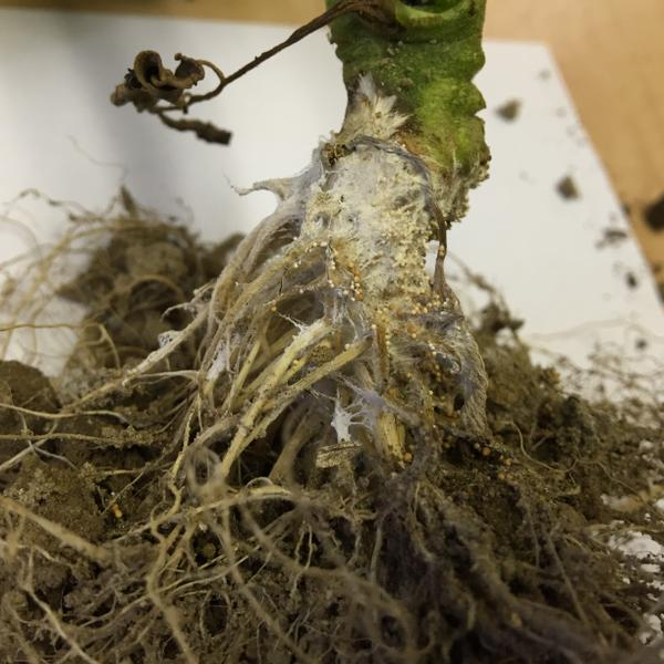 White mycelium and sclerotia on the stem of a field-grown tomato
