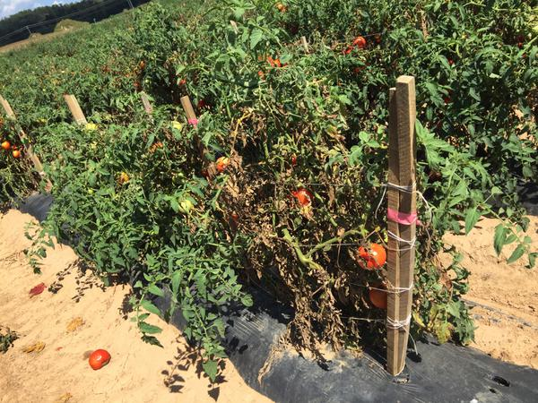 Blighted tomato plants due to early blight