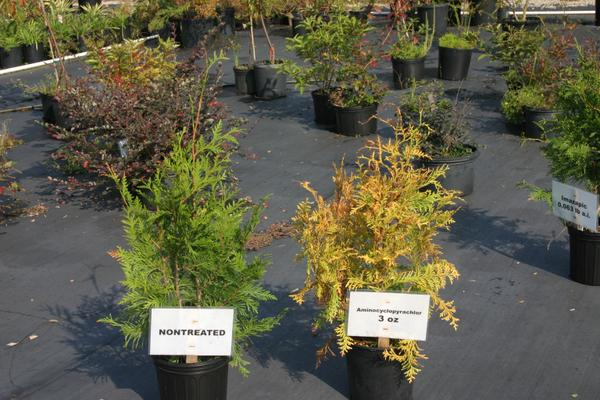 treated plant on right is yellowed with tip dieback