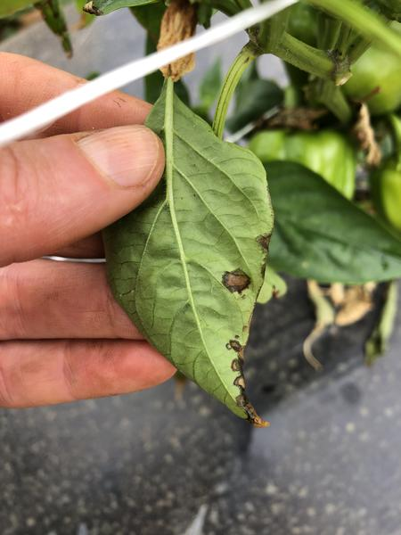 Water-soaked lesions of bacterial spot on pepper