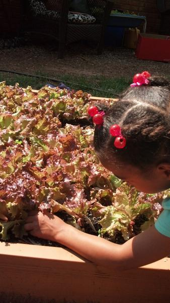 Photo: Children harvesting lettuce for a fresh salad.