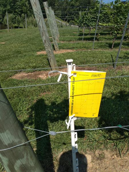 A yellow sticky trap on a white post next to a grape vine.
