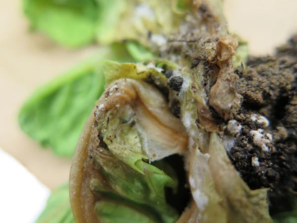 Sclerotia of Sclerotinia causing drop on lettuce