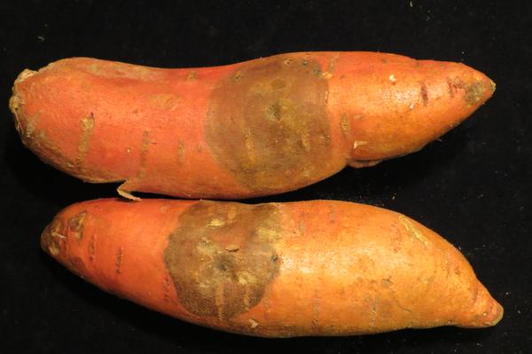Dark, dry lesion on sweetpotato typical of black rot caused by C