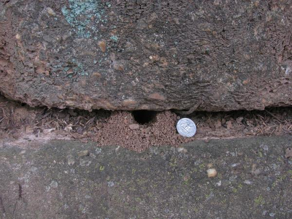 Entrance to a cicada killer burrow in a stone wall