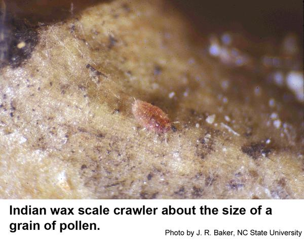 Indian wax scale crawler