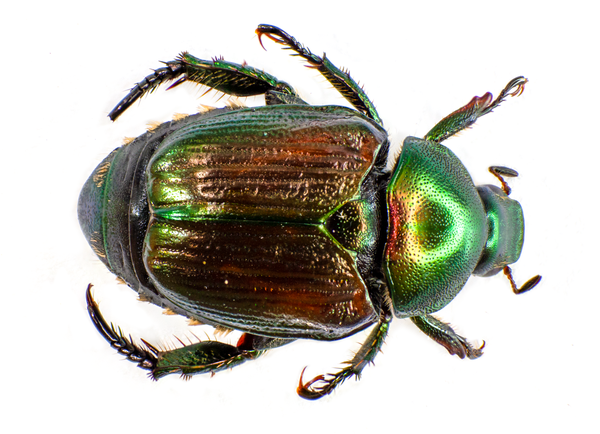 Figure 1. Japanese beetle adult