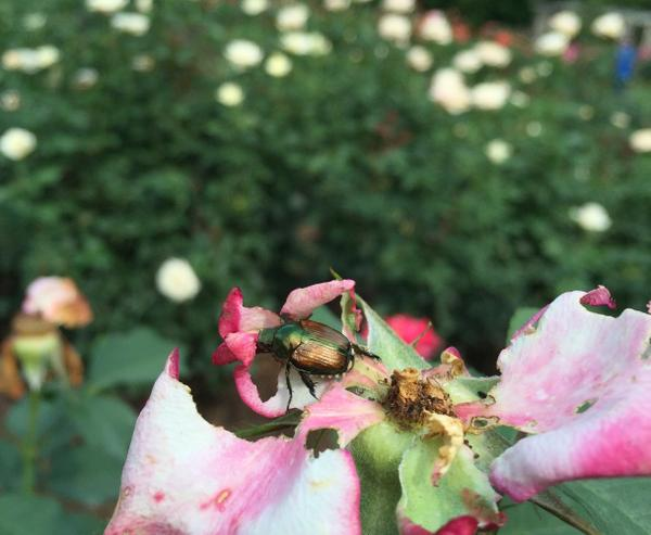 Figure 1. Japanese beetles feeding on rose petals.