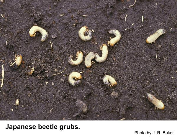 Japanese beetle grubs