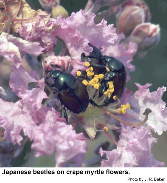 Japanese beetles flowers
