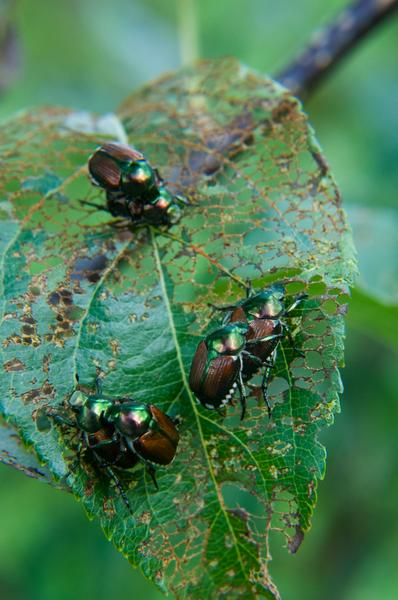 Japanese Beetle Nc State Extension Publications