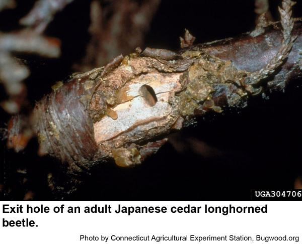 Longhorned beetles chew oval exit hole