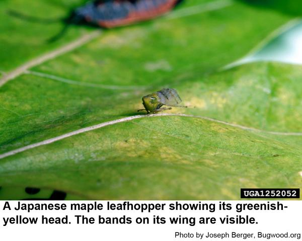 Japanese maple leafhoppers have greenish-yellow heads.