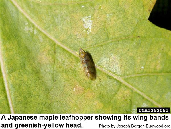 Japanese maple leafhoppers have three bands