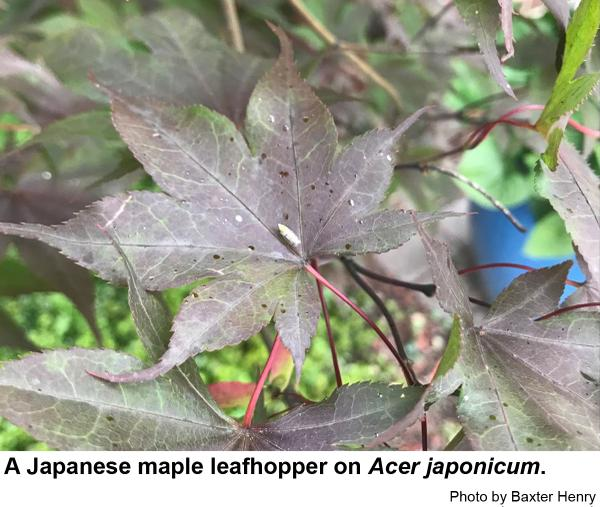 Japanese maple leafhopper