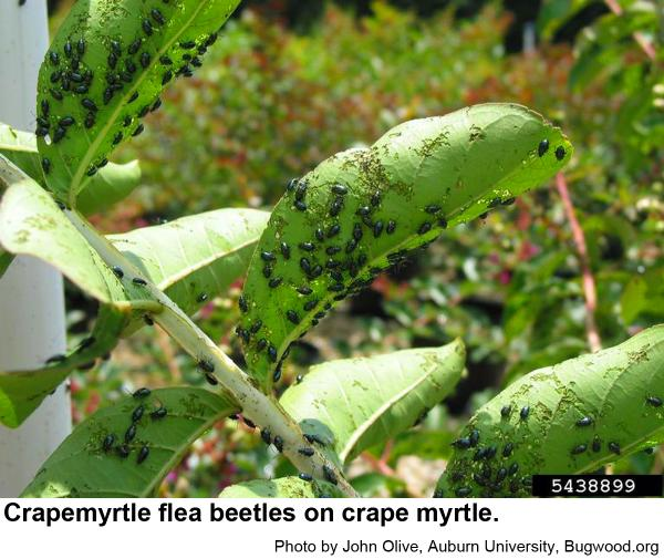 crapemyrtle flea beetles