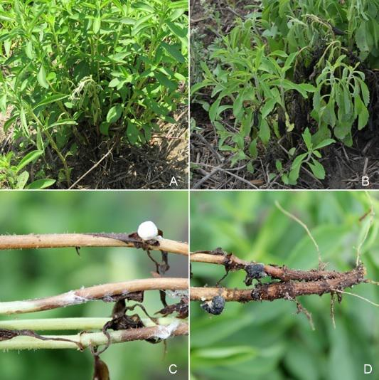 Thumbnail image for Sclerotinia Sclerotiorum Stem Rot on Stevia